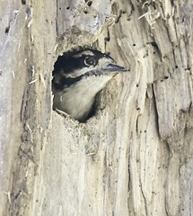Who's That Knockin' - Downy Woodpecker (kenyoung3) Tags: picoidespubescens downywoodpecker deltabccanada woodpeckers