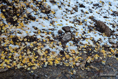 Wet Aspen Leaves (kevin-palmer) Tags: cottonwoodcanyon blm lovell wyoming october fall autumn nikond750 snow aspen trees leaves colorful foliage gold golden yellow fallen cottonwoodcreek stream flowing water wet nikon50mmf14 nikkorafd bighornmountains