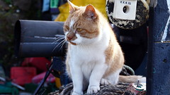 Harbour Cat (Jamo Spingal : Thanks for 1M Views) Tags: ginger tabby moggie pettycur harbour fife sigma60mmf28 dnart
