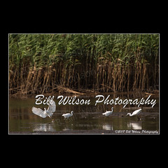 snowy egrets (wildlifephotonj) Tags: snowyegrets egrets egret wildlifephotographynj naturephotographynj wildlifephotography wildlife nature naturephotography wildlifephotos naturephotos natureprints birds bird birdphotography