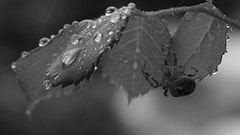Sheltering from an Autumn shower (phil_1_9_7_9) Tags: spider rain october droplets leaves bw black white blackwhite m43 mft microfourthirds arachtober arachtober17 raining shelter arachnid olympusem5markii olympusm60mmf28macro bokeh autumn olympus 60mm macro