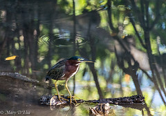 BH 10 15 18 LO-0023 (Mary D'Elia) Tags: bonnethouse florida ftlauderdale greenheron heron bird reflection water wildlife