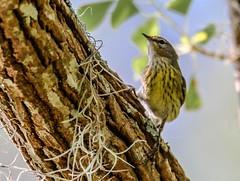 Cape May Warbler (backyardzoo) Tags: 20181017 bird cape capemay may warbler