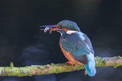 Kingfisher #kingfisher #birds #birdphotography (ice21964) Tags: birdphotography birds kingfisher