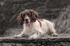 ZigZag (Flemming Andersen) Tags: stone zigzag spaniel pet nature dog cocker outdoor hund animal