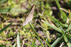 White Peacock Butterfly (Arthur Windsor - Florida Wildlife) Tags: whitepeacockbutterfly whitepeacock butterfly castawayislandpreserve jacksonvillefl