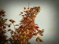Autumn Maple (clarkcg photography) Tags: orange maple leaf leaves colors autumn fall oklahoma flickrfriday sunshinesundays