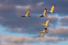 Sandhill cranes at sunrise Sherburne Wildlife Refuge, Zimmerman, Minnesota (Lorie Shaull) Tags: crexmeadows gruscanadensis sandhillcrane grantsburg bird birdmigration birdwatching birds