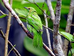 DSCN4369 Jerdon's Leafbird-Female (Chloropsis jerdoni) (vlupadya) Tags: greatnature animal aves fauna indianbirds jerdons leafbird chloropsis kundapura karnataka