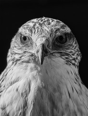 Monochrome Poser (ORIONSM) Tags: bird prey raptor portrait monochrome feathers beak eyes nature avian pose pentaxk3 sigma18250