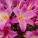 Pink Lily, Rotorua, NZ