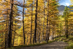 Forêt d'automne, Allos, 20 Octobre 2018 (Enzo R.) Tags: autumn automne orange yellow jaune forest forêt sunny sun trees arbres path chemin mountain montagne nature alps alpes france allos bois wood provence couleurs colors