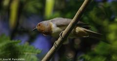 1-LIFER!! El cuclillo enano o cuclillo gusanero  es una especie de ave cuculiforme de la familia Cuculidae que habita en el norte de Sudamérica.Anteriormente estaba ubicada en los géneros Coccyzus o Micrococcyx. (Cimarrón Mayor 15,000.000. VISITAS GRACIAS) Tags: ordencuculiformes familiacuculidae génerococcycua cuclilloenano cuclillogusanero cucoenano nombrecientificococcycuapumila nombreeninglesdwarfcuckoo lugardecapturamontenegro quindío colombia ave vogel bird oiseau paxaro fugl pássaro птица fågel uccello pták vták txori lintu aderyn éan madár cimarrónmayor panta pantaleón josémiguelpantaleón objetivo500mm telefoto700mm 7dmarkii canoneos canoneos7dmarkii naturaleza libertad libertee libre free fauna dominicano pájaro montañas