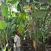 Kluai Tiparot_Entire plant