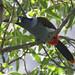 Gray-breasted Mountain-Toucan, Andigena hypoglauca 199A5412