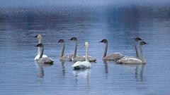 Tundra Swans - Resting Up, while on Migration. (Bob's Digital Eye) Tags: bobsdigitaleye canon canonefs55250mmf456isstm flicker flickr migration october2018 swans t3i tundraswans waterfowlofnorthamerica wildbirds wildlife waterfowl