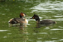 Great crested grebes feeding young - Podiceps cristatus (Maureen Pierre) Tags: podicepscristatus greatcrestedgrebe carrying riding young baby juvenile feeding fish pair bird native