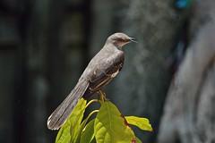 Atop The Avocado Tree (ACEZandEIGHTZ) Tags: mimus polyglottos nikon d3200 florida state bird backyard birdwatcher grey white avocado tree bokeh coth5 sunrays5