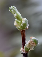 First flower bud of Mitrophyllum dissitum