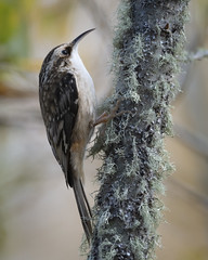 Keep on Creeping (TW Olympia) Tags: brown creeper nisqually