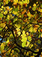 Autumn leaves (ExeDave) Tags: pa215824 european common beech fagus sylvatica mamhead forest great haldon hills teignbridge devon sw england gb uk plant flora wildflower fagaceae tree leaves autumn october 2018 yellow golden explore explored interestingness500