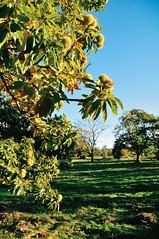family chestnut grove in Penela da Beira (Gail at Large | Image Legacy) Tags: 2018 peneladabeira portugal viseu gailatlargecom