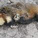 dode hamster of zo, voor Giurgiu