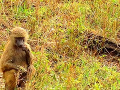 "Kenya, Lake Nakuru National Park. Baboon - Almost Francois Auguste Rodin ""The Thinker"" (dimaruss34) Tags: newyork brooklyn dmitriyfomenko image kenya svetlanafomenko lakenakurunationalpark grass baboon animal"
