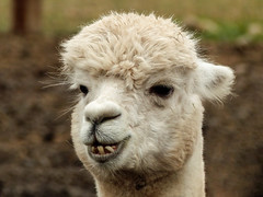 Fun to spend time with (annkelliott) Tags: alberta canada swofcalgary granaryroad marketgarden activelearningpark animal alpaca vicugnapacos camelidaefamily smallerthanllamas domesticated beige face headshot portrait frontsideview teeth hair fibre bokeh outdoor earlyfall 23september2018 fz200 fz2004 panasonic lumix annkelliott anneelliott ©anneelliott2018 ©allrightsreserved