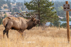 Elk bull ignores privacy property rights