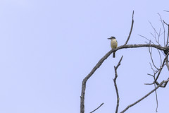 Sacred Kingfisher (Arcus Cloud) Tags: bird birds birdwatching birdspotting birdphotography birding australia australianwildlife australianbirds animal nature nsw naturalworld naturewatcher natural wildlife wildlifephotography wildlifephoto wildlifeandnature wild