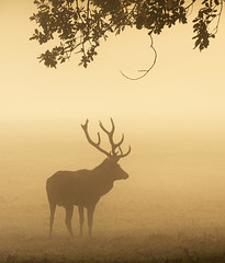 Majestic in the Mist (Tracey Whitefoot) Tags: 2018 tracey whitefoot nottingham nottinghamshire wollaton deer park stag mist misty sunrise dawn warm tones silhouette atmospheric atmosphere