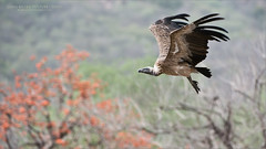 Indian Vulture (Raymond J Barlow) Tags: vulture india tiger wildlife travel raymondbarlow birdinflight