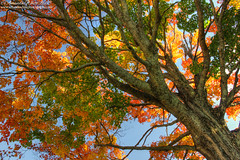 The changing colours of Fall (sminky_pinky100 (In and Out)) Tags: atlanticprovinces atlanticcanada maritimeprovinces novascotia canada trees fall fallcolours autumn fallfoliage annapolisvalley leaves pretty colourful travel tourism omot cans2s nature outdoors