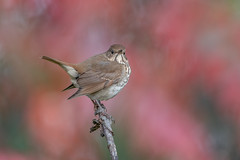Hermit Thrush (Joe Branco) Tags: hermitthrush lightroom photoshop branco joe ontario canada birds nikon joebrancophotography green