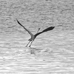Envol_B&W (Elisabeth Lys) Tags: birds héron nikon d7200 sigma 150600mm contemporary blackwhite black white square lac vioreau loireatlantique contrejour