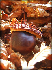 With a little hat... (Szemeredi Photos/ clevernails) Tags: chestnut shell stinging leave macro brown autumn park walk collecting small hat funny smile