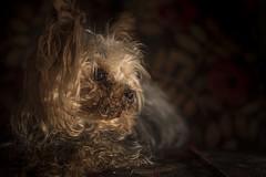 Amigo (Mauro Esains) Tags: perro amigo yorkie pequeño bago chiquito