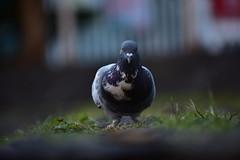 Ella es bonita. (Karen Scarlett Delgado) Tags: paloma dove ave bird wings alas animal nature naturaleza macro purple morado nikon d3400 cdmx