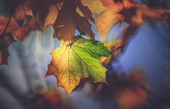 Autumn Series - 15 (Dhina A) Tags: sony a7rii ilce7rm2 a7r2 a7r tamron sp 500mm f8 tamronsp500mmf8 prime ad2 adaptall2 mirrorlens 55bb catadioptric reflex cf tele macro manualfocus autumn series fall colors leaves park bokeh