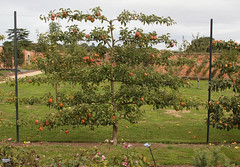 2018_09_0789 (petermit2) Tags: appletree apple apples orchard tree walledgarden clumberpark clumber nottinghamshire nationaltrust nt