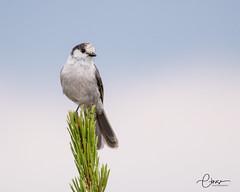 Canada Jay (C-Brese) Tags: grayjay canadajay perisoreuscanadensis jay corvid bonneybutte oregon wildlife bird cbrese