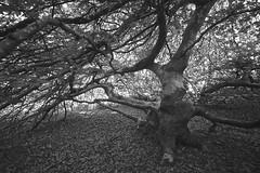 Flickr_Foresta_Demaniale_Verzy_09-2018_IMG_2057 (Roberto Bombardieri) Tags: francia france verzy foresta forêt alberi forest