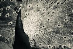 pritty bird (claudia 222) Tags: peacock artis monochrome bw apotelytr 134180 leitz