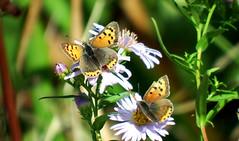 Lycaena phlaeas (cawthraw) Tags: dawlishwarren devon lycaenaphlaeas smallcopper