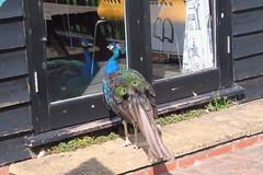 Peacock (Deida 1) Tags: bird peacock male suffolk window reflection door mirrorimage