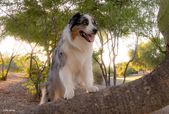 Seeking Autumn (Jasper's Human) Tags: aussie australianshepherd dog hot tree
