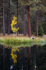 Fall in the Pine Forest (Kyle French) Tags: fall tree evergreen oregon lake tress forest
