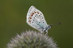 Butterfly, Lagonaki July 2018 (Aidehua2013) Tags: lycaenidae lepidoptera insect invertebrate unidentified lagonaki maikopdistrict adygea russia caucasus