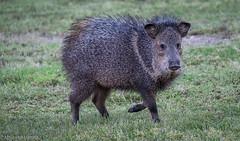 Javelina (Maureen Medina) Tags: maureenmedina artizenimages arizona az animal peccary javelina pig wild boar collared